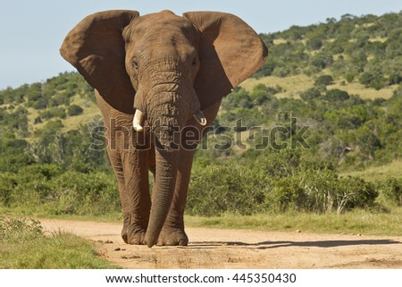Huge African elephant standing in the road with lush bush on either side - stock photo