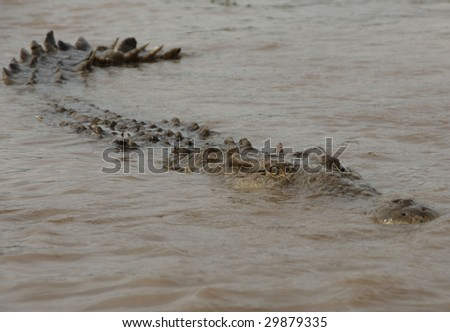huge american crocodile in attack mode in water, tarcoles river, jaco, costa rica, central america - stock photo