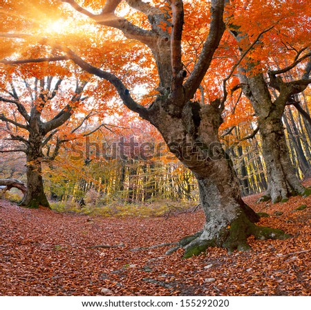 Huge beech in the autumn forest - stock photo