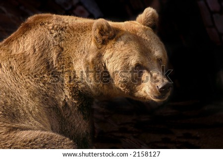 Huge brown bear on dark background