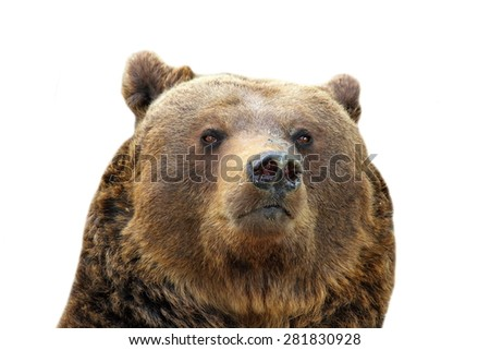 huge brown bear portrait ( Ursus arctos ) isolated over white background - stock photo