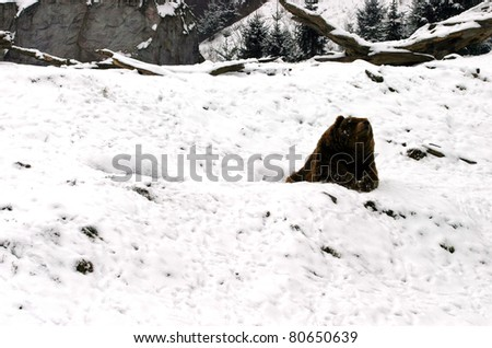 huge brown bear resting in the snow during a cold winter day - stock photo