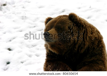 huge brown bear resting in the snow during a cold winter day