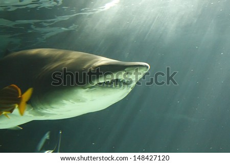 huge bull shark swimming - stock photo