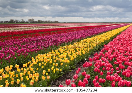 huge colorful field with rows of many tulips in Netherlands