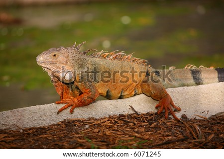 Huge Colorful Iguana - stock photo