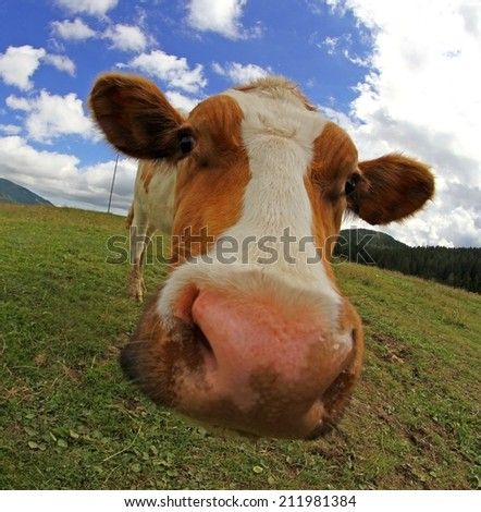 huge cow nose photographed with fisheye lens from very close - stock photo