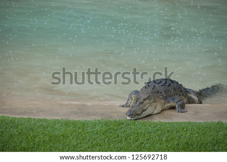Huge crocodile crawling over edge of outdoor swimming pool onto green grass. Dangerous natural intruder on private property. - stock photo