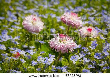 huge daisies in the grass - stock photo