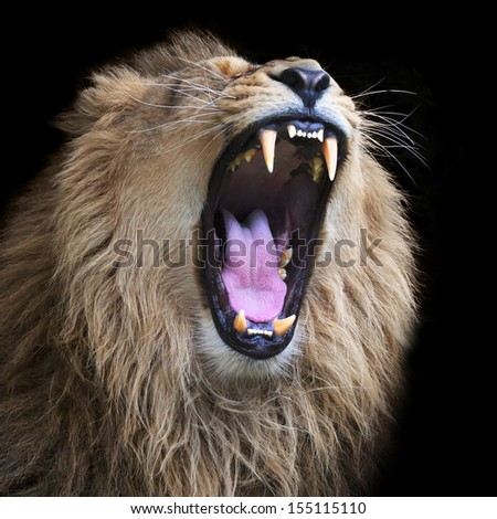 Huge fangs of an Asian lion, isolated on black background. The King of beasts, biggest cat of the world. The most dangerous and mighty predator of the world with open chaps. Square image. - stock photo