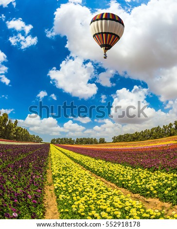 Huge field of blossoming garden buttercups-ranunculus. Above the flowers flying big bright balloon. The concept of summer vacation