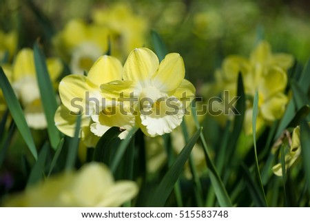 Huge field of daffodils, selective focus on flowers in foreground