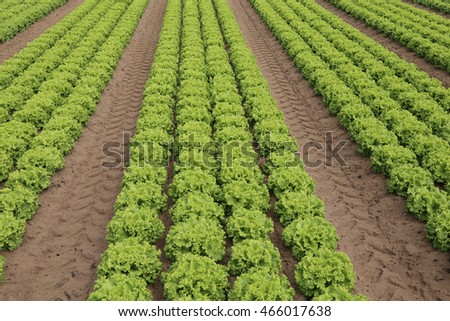 huge field of green lettuce grown on soil with sand in summer