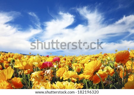 Huge fields of blossoming garden buttercups (Ranunculus asiaticus).  The wonderful spring weather, light clouds flying across a blue sky. The picture was taken Fisheye lens - stock photo