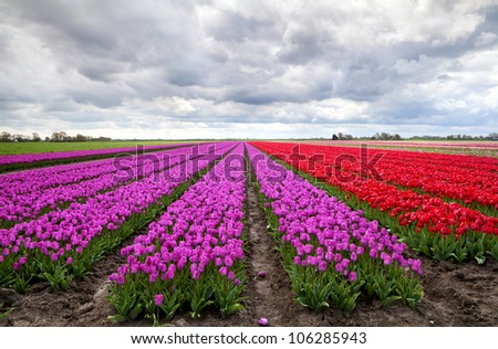 huge fields with purple and red tulips under clouded sky in Netherlands
