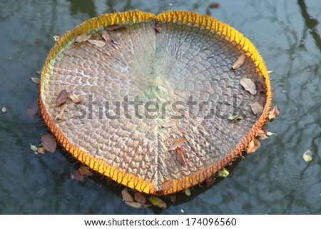 Huge floating lotus,Giant Amazon water lily,Victoria amazonia - stock photo