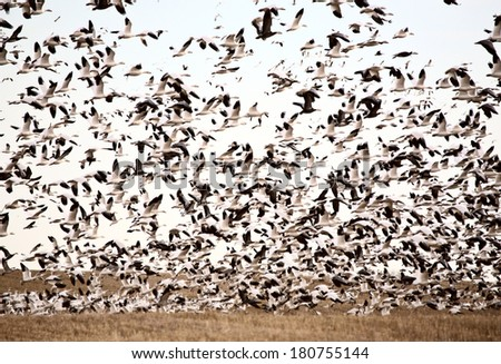 Huge flock of Snow Geese  - stock photo