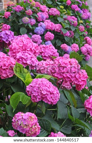 huge flower bed full of purple hydrangea flowers and pink and blue