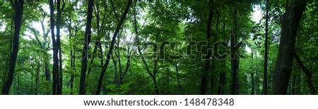 Huge forest panorama. Big picture of trees - stock photo
