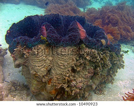 Huge Giant Clam (Tridahna gigas) - stock photo
