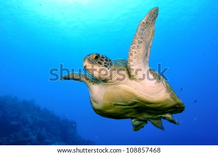 Huge Green Turtle ontop of the wall, Grand Cayman - stock photo