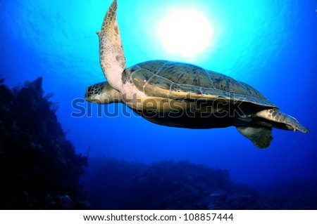 Huge Green Turtle ontop of the wall with the sun, Grand Cayman - stock photo