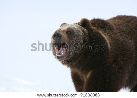 Huge Grizzly Bear with snow background - stock photo