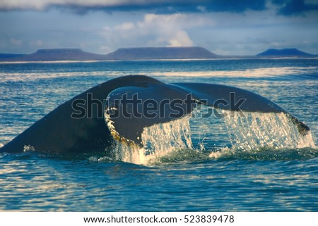 huge Hump-backed whale (Megaptera novaeangliae) tail in background of plateaus of Angled tail means that whale diving into shallow. Commander Islands