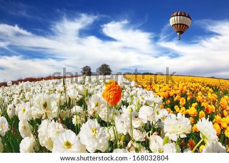 Huge kibbutz field of multi-colored buttercups. Beautiful spring weather, beautiful big balloon flies over the field. The picture was taken Fisheye lens - stock photo
