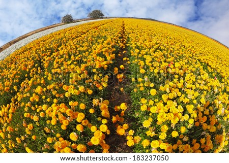 Huge kibbutz field of multi-colored buttercups (Ranunculus asiaticus).  The wonderful spring weather, light  clouds flying across a blue sky. The picture was taken Fisheye lens - stock photo