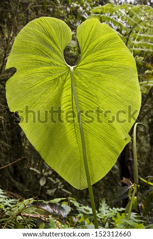 Huge leaf in Mindo cloud forest in Pichincha in northern Ecuador. - stock photo