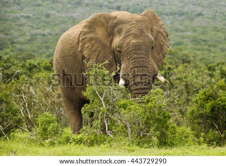 huge male African elephant standing and eating from a thorn bush - stock photo