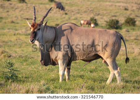 Huge male Eland antelope in breeding condition - stock photo