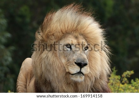 Huge male lion with big mane  in African bush
