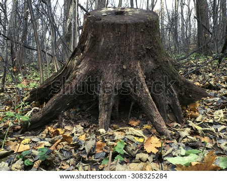 Huge old stump in the autumn forest. - stock photo