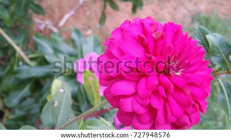 Huge pink flower stock photo safe to use 727948576 shutterstock huge pink flower mightylinksfo