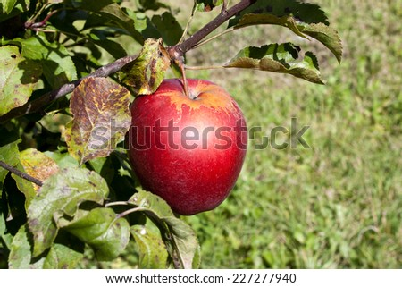 Huge red ripe apple on branch in the garden