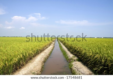 Huge rice plantation with a surface water storage - stock photo