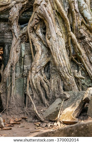 Huge roots in the temple of Ta Prohm. Cambodia. - stock photo