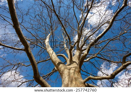 huge tree, branches out in all directions, without leafs, blue sky, view from below - stock photo