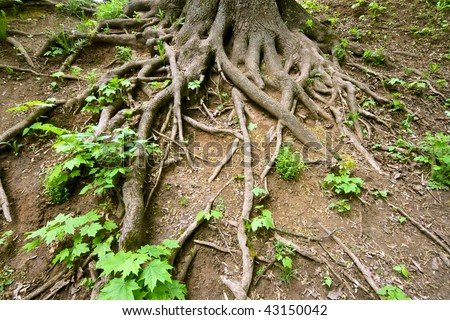 Huge tree roots interlasement and new sprouts - stock photo