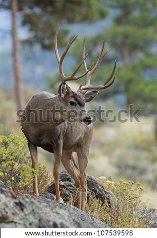 Huge Trophy Mule Deer Buck, standing on rock in autumn habitat - stock photo