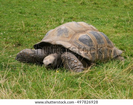 Huge turtle in green grass