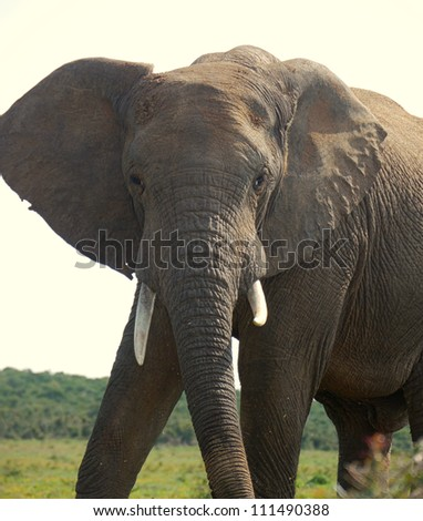 huge tusks on an elephant bull in south africa