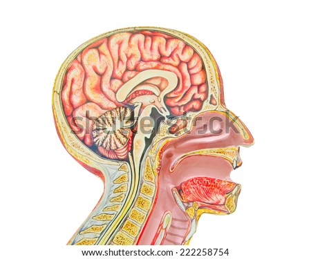 Human anatomical model isolated against a white background an often used tool for medical study. - stock photo
