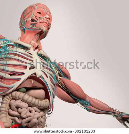 Human anatomy,chest,torso,intestines, from low angle. On light studio background.