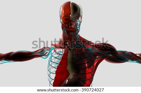 Human anatomy 3D. Male torso showing layers. Back-lit on light background.