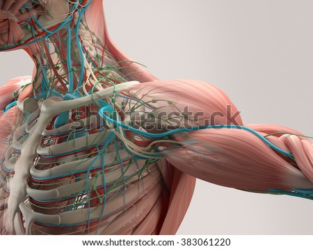 Human anatomy detail of shoulder. Muscle, bone structure, arteries. On plain studio background. Professional lighting. - stock photo