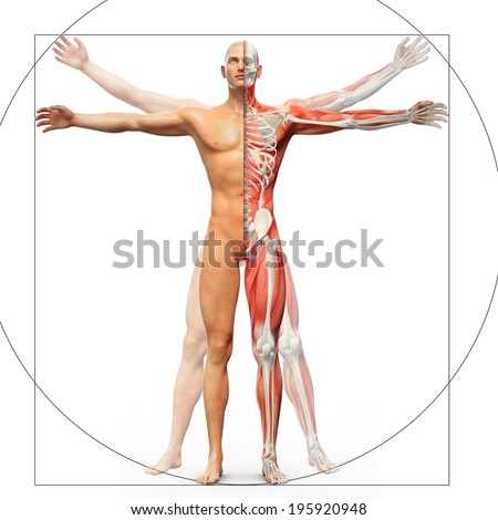 Human anatomy displayed as the vitruvian man by Leonardo da Vinci - stock photo