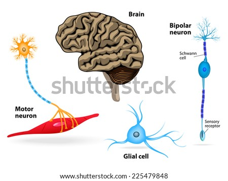 Human anatomy. Endocrine system (pituitary gland, pineal gland, testicle, ovary, pancreas, thyroid, thymus, adrenal gland). Set icons - stock photo